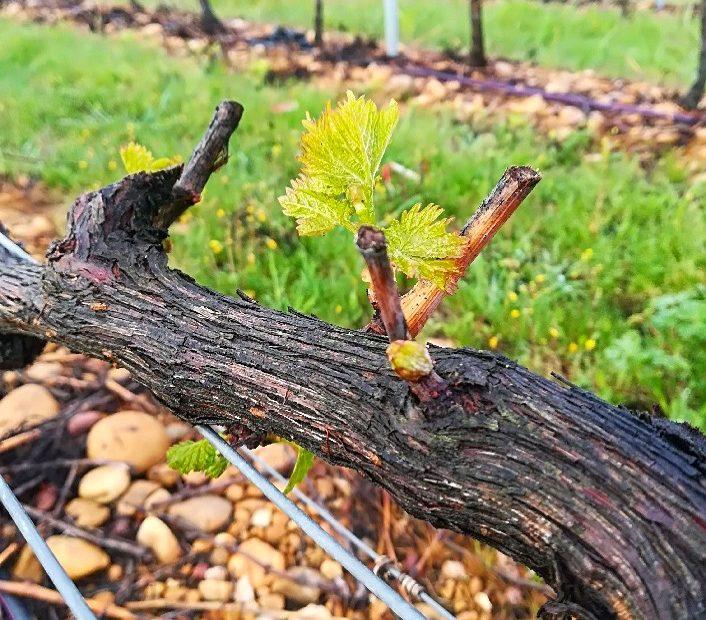 vignobles & compagnie - debourrement