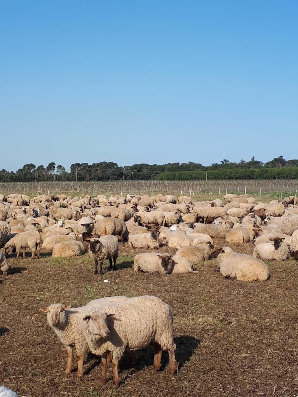 Moutons Ch des Sources V&Co
