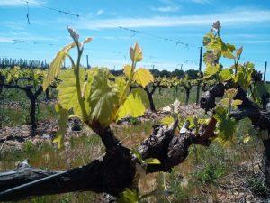 Vignobles & Compagnie - Feuillaison